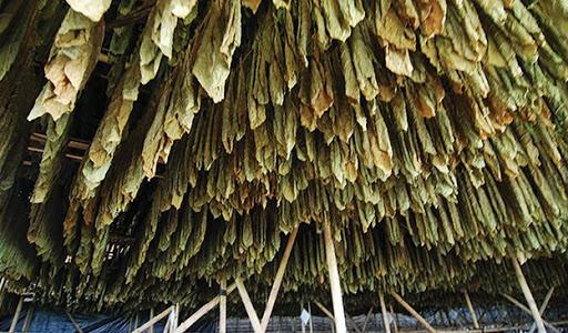air curing tembakau