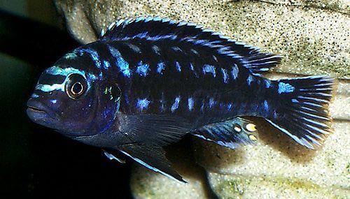 electric blue johanni cichlids