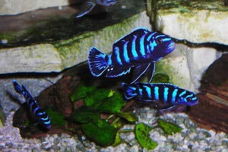 ikan demasoni cichlids