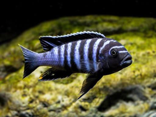 ikan dogtooth cichlids