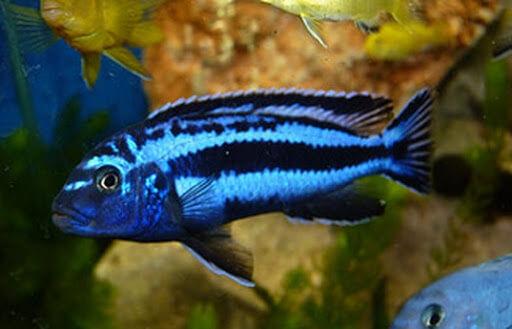ikan cichlid maingano