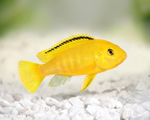 ikan cichlid lemon