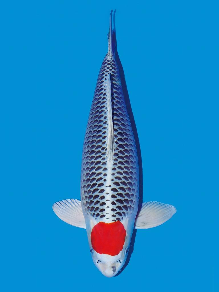 ikan koi jenis tancho